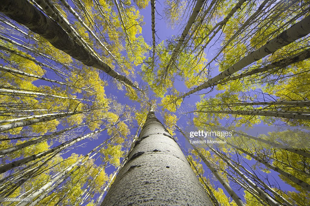 USA, Colorado, autumnal aspen grove, low angle view (focus on trunk)