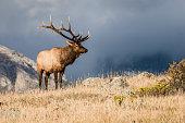 Colorado Bull Elk in Rut