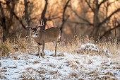 Colorado White Tailed Buck