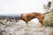 USA, Colorado, Dog with head in pipe