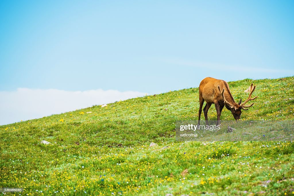 Colorado Elk Alpine Meadow : Stock Photo