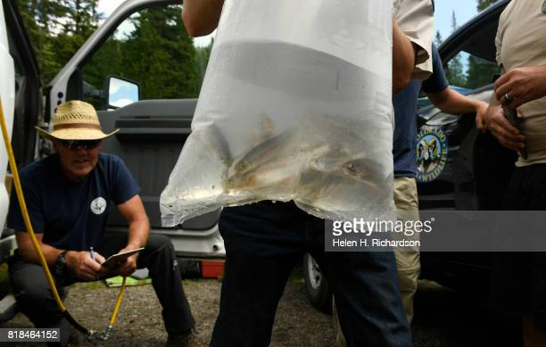 Colorado Parks Wildlife Hatchery technician Dave Karr middle gets ready to carefully place 18 yearling Greenback Cutthroat trout in a large plastic...