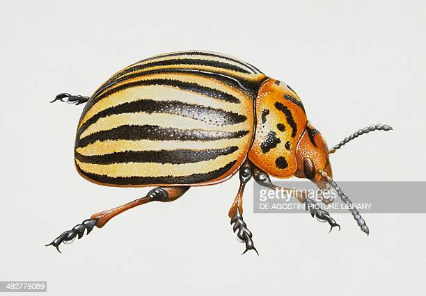 Colorado potato beetle Chrysomelidae Artwork by Steve Roberts