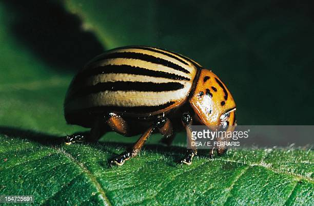Colorado potato beetle Chrysomelidae