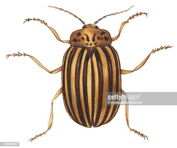 Colorado Potato Beetle Colorado Potato Beetle