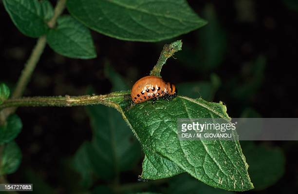 Colorado potato beetle larva Chrysomelidae