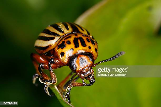 Colorado Potato Beetle on Green Leaf