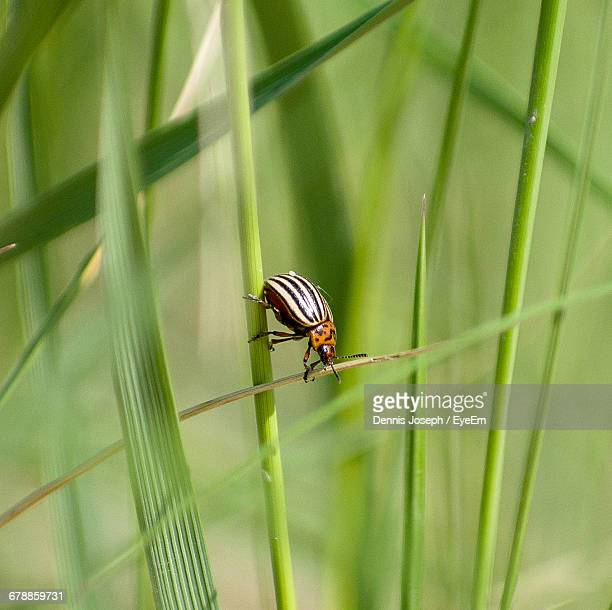 Colorado Potato Beetle On Plant