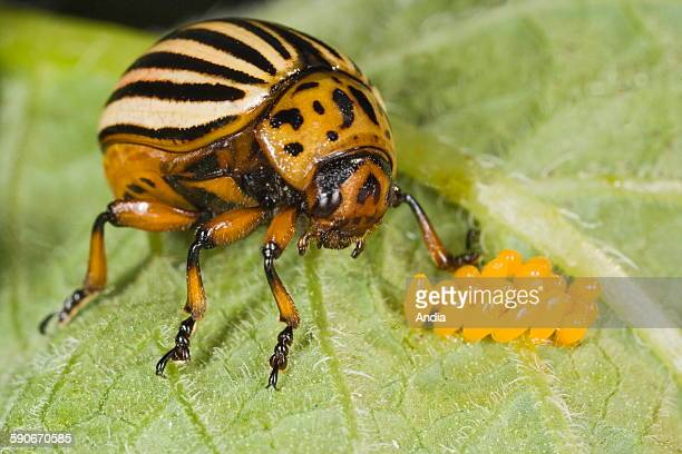 Colorado potato beetle with its eggs