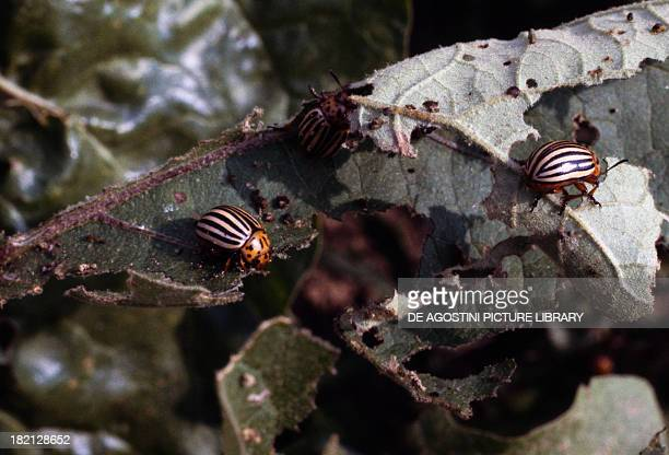Colorado Potato Beetles or Potato Bugs Coleoptera