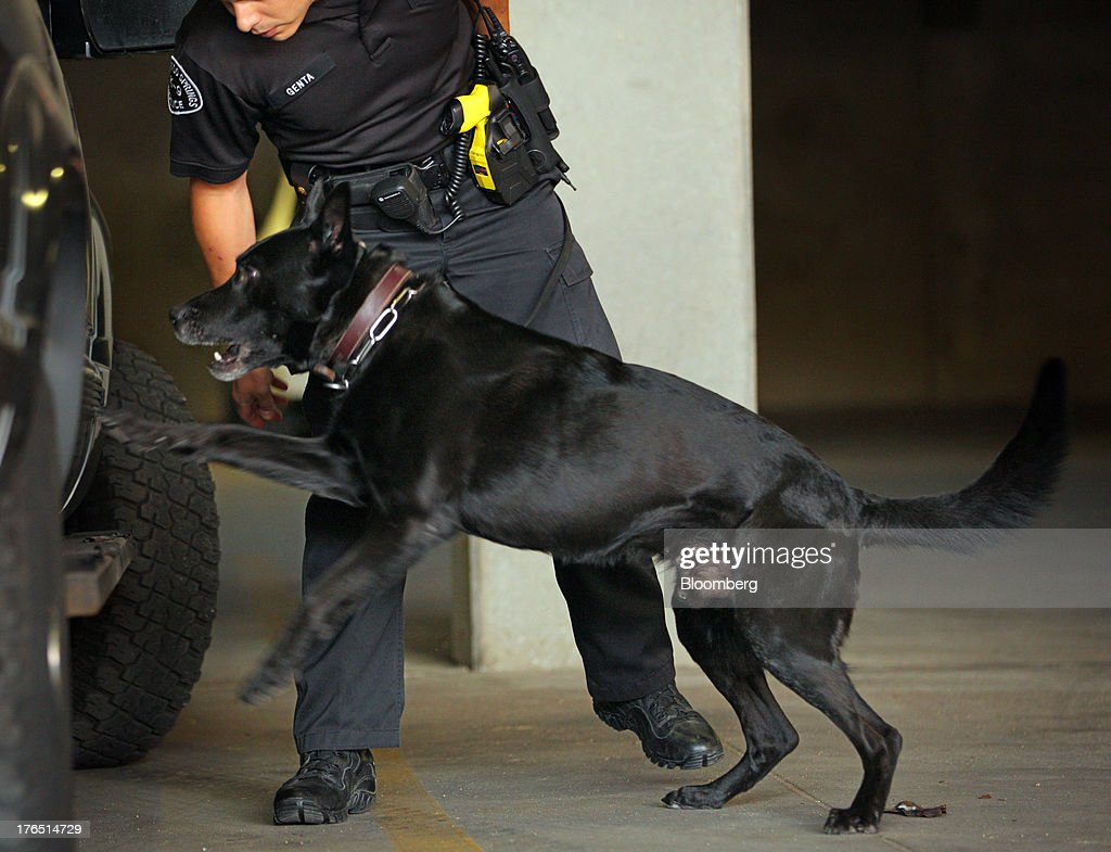 Colorado Springs Police Officer Andrew Genta and his dog Vader, a Belgian Malinois, smells marijuana during a demonstration of a narcotic search on a vehicle in Colorado Springs, Colorado, U.S., on Monday, Aug. 12, 2013.With new laws that aim to treat marijuana possession much like that of alcohol, law-enforcement agencies in Colorado and Washington are grappling with whether they should retrain their drug-sniffing dogs to ignore marijuana, retire older pooches who alert when they smell the drug, obtain new animals, or make no changes to their programs. Photographer: Matthew Staver/Bloomberg via Getty Images