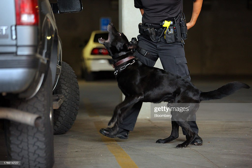 Colorado Springs Police Officer Andrew Genta looks on as his dog Vader, a Belgian Malinois, smells marijuana during a demonstration of a narcotic search on a vehicle in Colorado Springs, Colorado, U.S., on Monday, Aug. 12, 2013.With new laws that aim to treat marijuana possession much like that of alcohol, law-enforcement agencies in Colorado and Washington are grappling with whether they should retrain their drug-sniffing dogs to ignore marijuana, retire older pooches who alert when they smell the drug, obtain new animals, or make no changes to their programs. Photographer: Matthew Staver/Bloomberg via Getty Images