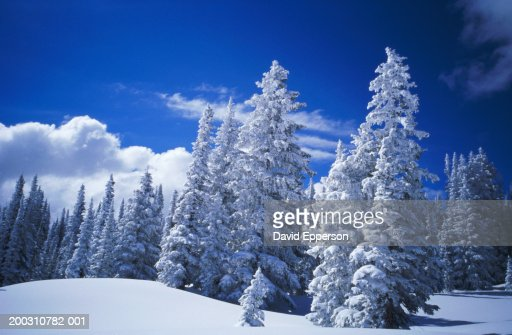 USA, Colorado, Steamboat Springs, pine trees covered in snow, winter