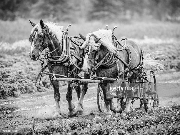 USA, Colorado, Two horses pulling cart