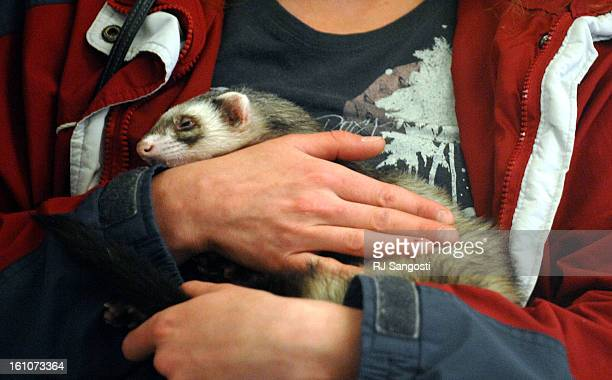 VET15 FORT COLLINS COLORADOJessica Bull holds her Canadian Ferret named IKO in the lobby of the Colorado State University's Veterinary Teaching...