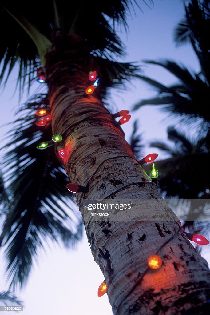 colored christmas lights wrapped around trunk of palm tree stock photo - Palm Tree With Christmas Lights