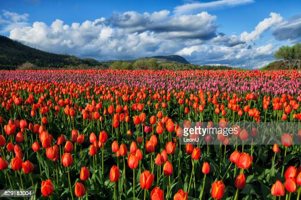 Colorful and bright tulip fields in Valley, Abbotsford, BC, Canada
