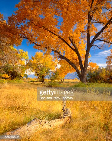 Colorful Autumn cottonwood trees and long grass