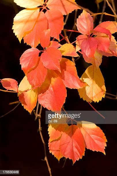 Coloré du feuillage d'automne devant un fond sombre