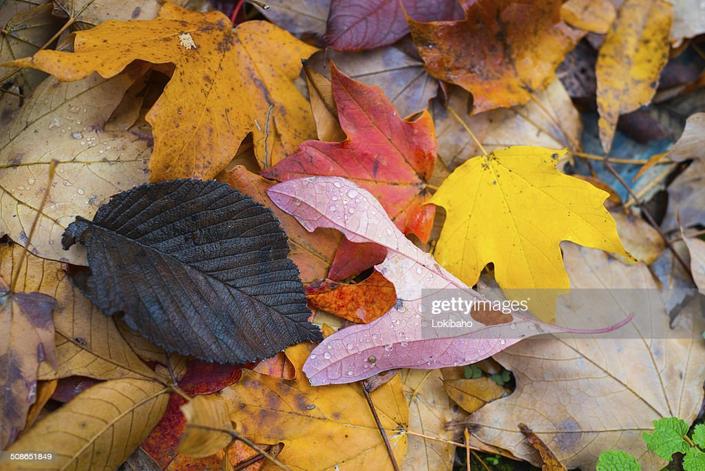 Colorful Autumn Leaves Closeup : Stock Photo