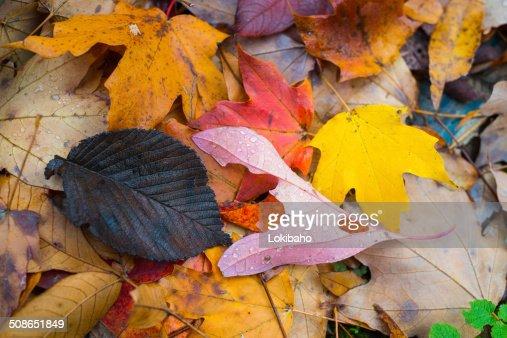 Colorful Autumn Leaves Closeup : Stock Photo