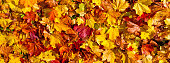 Background with colorful maple leaves - panoramic format