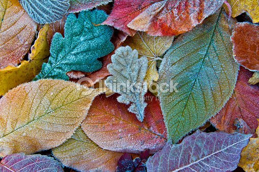 Colorful autumn leaves with frost. Frosty autumn leaves background : Foto de stock