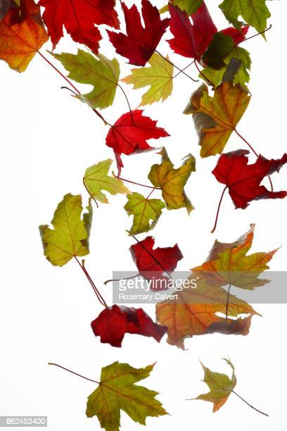 Colorful autumnal maple leaves falling, on white.