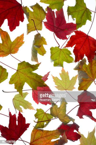 Colorful autumnal maple leaves on white.