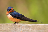 Colorful barn swallow bird with brilliant blue and purple feathers standing on a wooden fence with a soft green background
