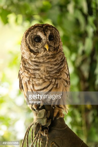Colorful Barred Owl 2 : Stock Photo