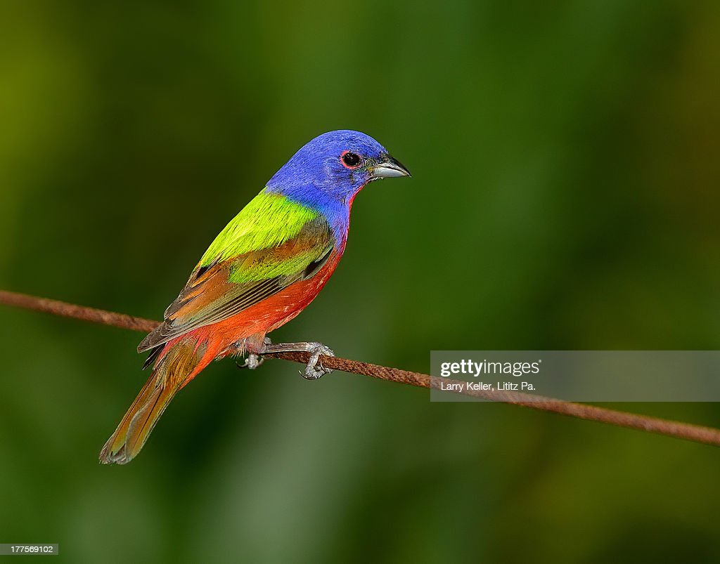 Colorful Bird Perched On A Wire Stock Photo   Getty Images