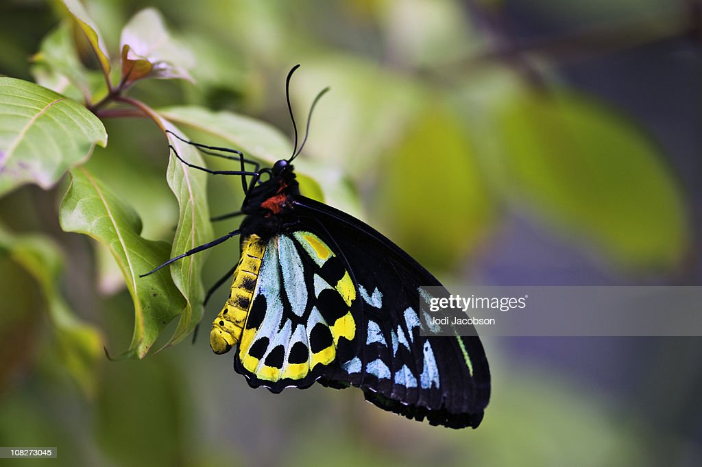 colorful butterfly (Ornithoptera priamus) : Stock Photo
