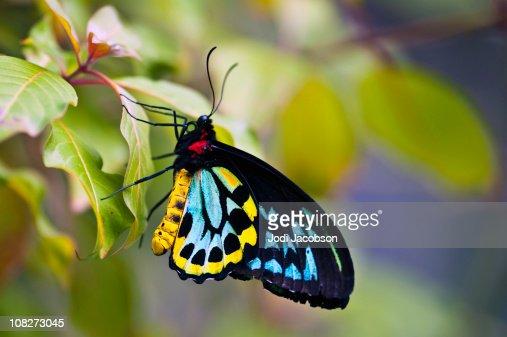 カラフルなトリバネアゲハ(Ornithoptera priamus : ストックフォト