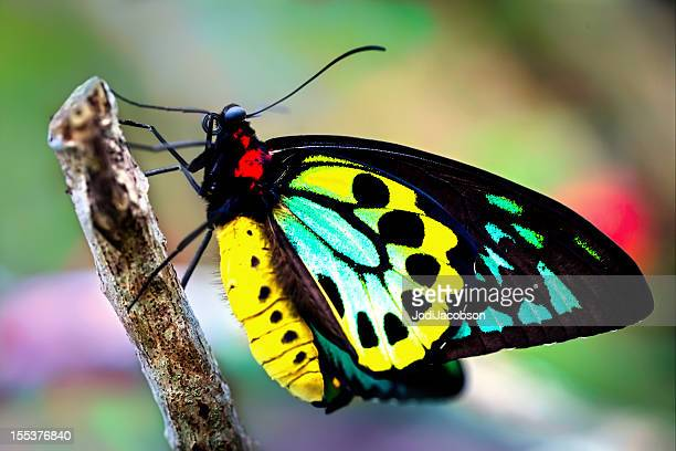 colorful birdwing butterfly (Ornithoptera priamus)