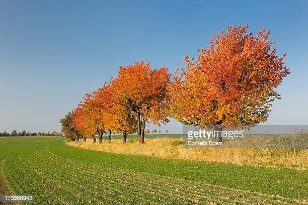 Colorful cherry trees in autumn