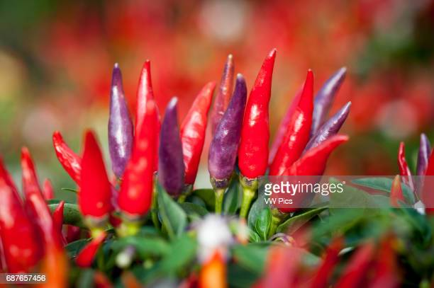 colorful chili pepper plants in Schwenksville PA