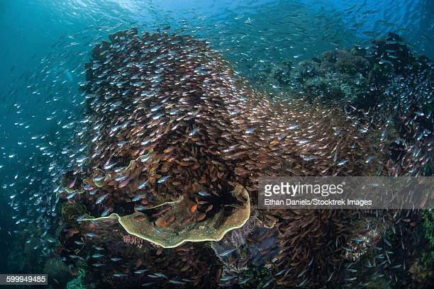 A colorful coral reef is covered by sweepers and cardinalfish.
