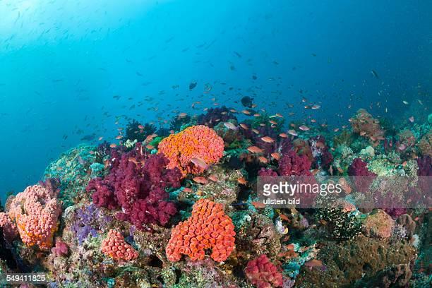 Colorful Coral Reef Raja Ampat West Papua Indonesia