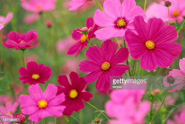 Cosmos Flower Stock Photos and Pictures | Getty Images