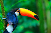 Colorful cute Toucan tropical bird, Brazilian Amazon – blurred green background