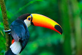 Colorful cute Toucan tropical bird in Brazilian Amazon – blurred background