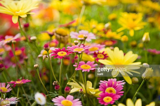 Colorful daisies, focus on Madeira Deep Rose marguerite daisy