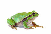 colorful european green tree frog on white background ( Hyla arborea )