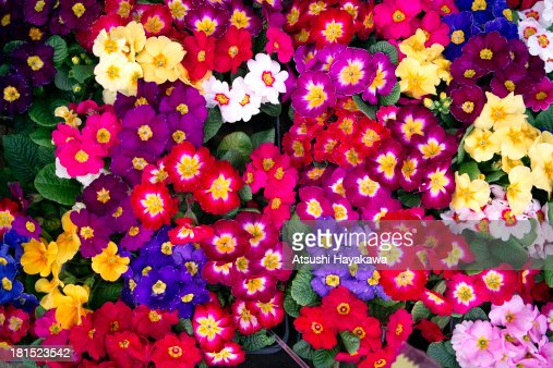 A colorful flower : Stock Photo