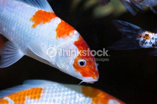 Carpa koi coloridos peces primer plano foto de stock - Peces koi precio ...