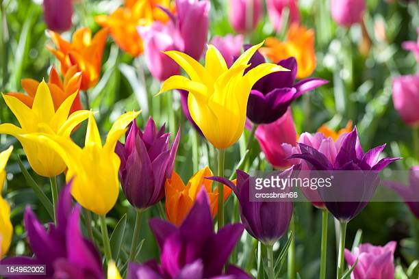 colorful lily-flowering Tulips