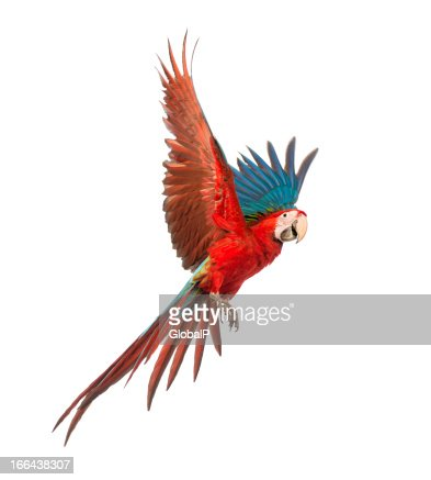 Colorful Macaw in flight over white background : Stock Photo