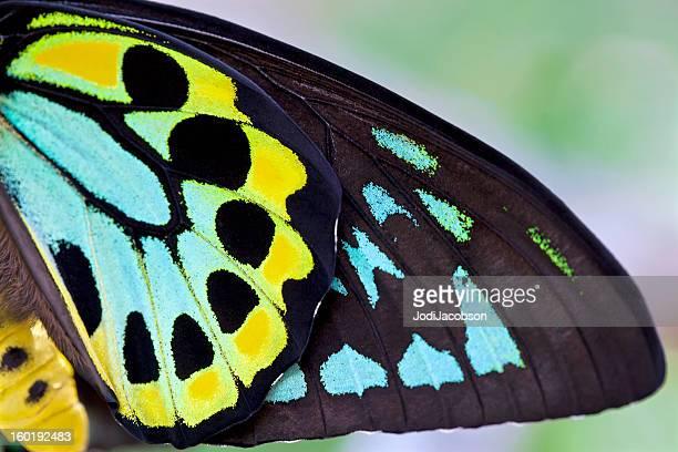 Masculino Borboleta Asa-de-pássaro colorido fundo (Ornithoptera priamus