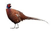 colorful male pheasant bird close up
